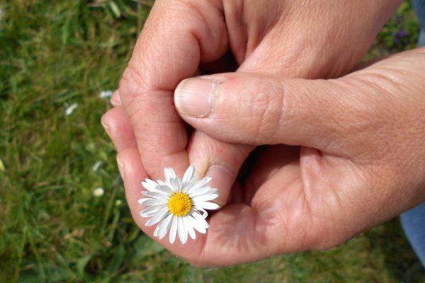 Hands holding a daisy flower