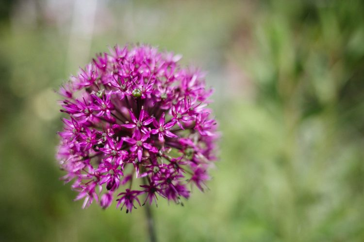 Small pink Allium flower head