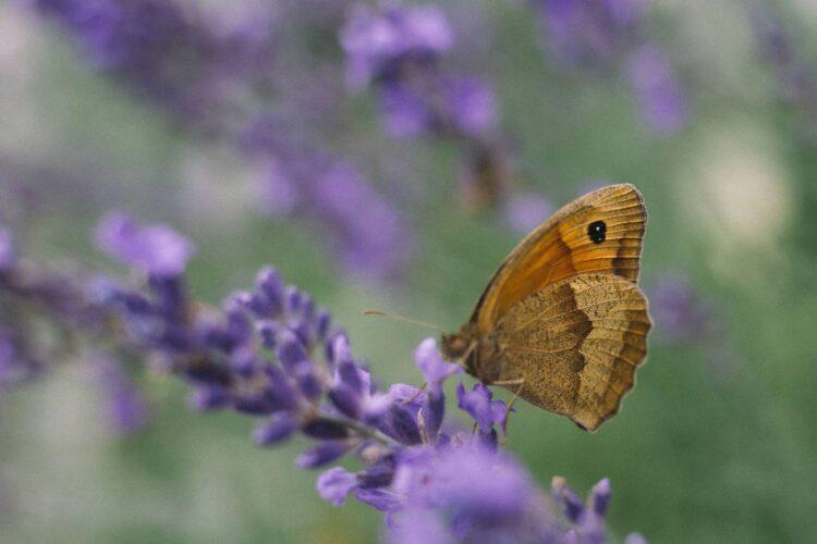 Butterfly feeding on a lavender flower