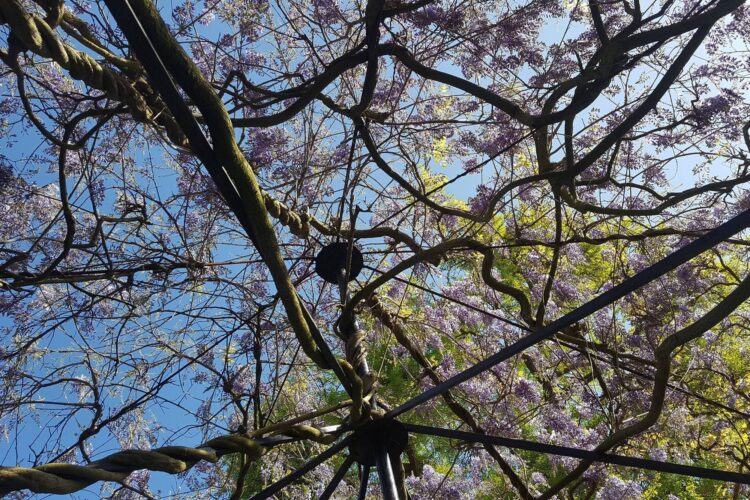 A pergola covered in wisteria flowers